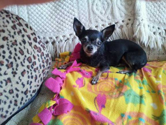 Pnut, the tiny Chihuahua that needs dog kidney disease support