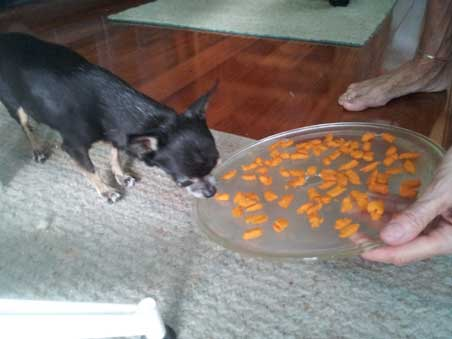Tiny Chihuahua Pnut sniffs a homemade sweet potato treat to treat dog kidney disease