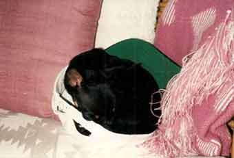 Tiny Chihuahua Pnut naps in baseball cap and needs dog Kidney Disease treatment