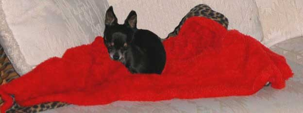 Tiny Chihuahua Pnut napping and getting older outliving chronic dog kidney disease