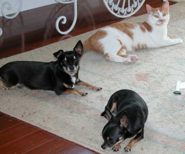 Pnut the tiny Chihuahua needed dog kidney disease treatment