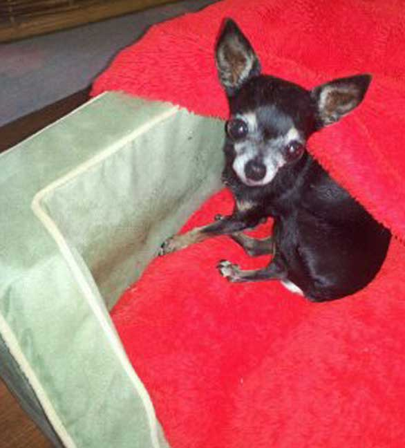 Tiny Chihuahua Pnut, star of Dog Kidney Disease Help, who survived kidney disease.